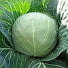 МАГНУС F1 - семена капусты белокочанной калиброванные 2 500 семян, Hazera
