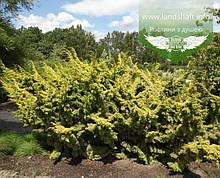 Juniperus chinensis 'Plumosa Aurea', Ялівець китайський 'Плюмоза Ауреа',C2 - горщик 2л