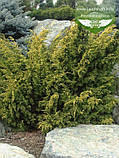 Juniperus chinensis 'Plumosa Aurea', Ялівець китайський 'Плюмоза Ауреа',C2 - горщик 2л, фото 2