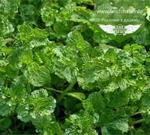 Mentha spicata 'Crispa', М ята колосиста 'Кріспа',P7-Р9 - горщик 9х9х9