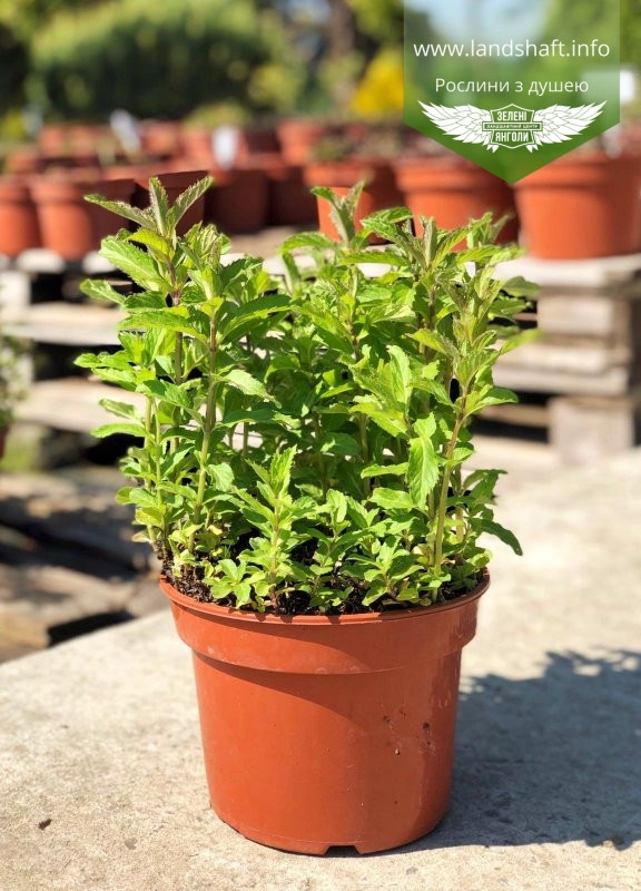 Mentha spicata 'Yakima', М ята колосиста 'Якіма',C2 - горщик 2л