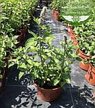 Mentha spicata 'Yakima', М ята колосиста 'Якіма',C2 - горщик 2л, фото 2