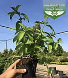 Mentha spicata 'Yakima', М ята колосиста 'Якіма',C2 - горщик 2л, фото 3
