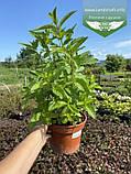 Mentha spicata 'Yakima', М ята колосиста 'Якіма',C2 - горщик 2л, фото 4