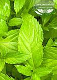 Mentha spicata 'Yakima', М ята колосиста 'Якіма',C2 - горщик 2л, фото 5