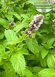 Mentha spicata 'Yakima', М ята колосиста 'Якіма',C2 - горщик 2л, фото 6