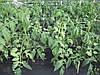 Венгерская сетка для огурцов, помидор, цветов, растений, шпалерная сетка 1,7м 20 м ячейка 15х17, фото 2