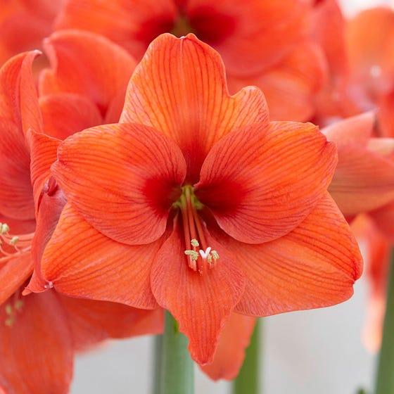 Aмариллис Naranja