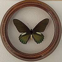 Сувенир - Бабочка в рамке Battus belus m. Оригинальный и неповторимый подарок!