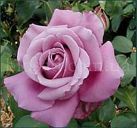Роза Голубой Нил (Blue Nile, Nil Bleu)
