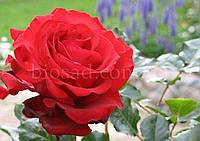 Роза Гранд Гала (Grand Gala), фото 1