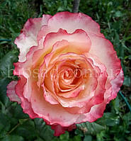 Роза Дуэт (Duett)