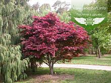 Acer palmatum 'Atropurpureum', Клен пальмолистий 'Атропурпуреум',C2 - горщик 2л