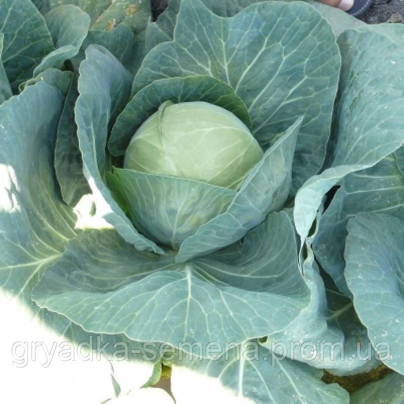 Капуста Пасадена F1 Lark Seeds 1000 семян