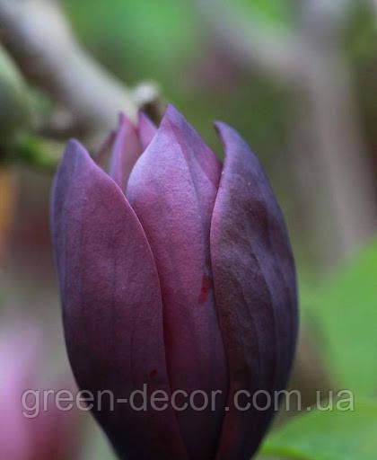 Магнолія magnolia black beauty контейнер 10 л