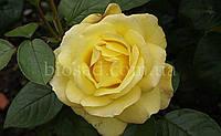 Роза Желтый Остров (Yellow Island)