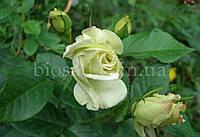 Роза Зеленая Планета (Green Planet)