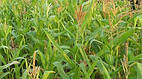 Семена кукурузы Селест