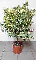 Мандарин (Citrus variegata mitis)