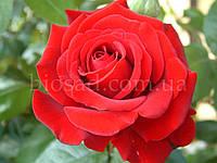 Троянда Кардинал (Kardinal), фото 1