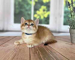 Котенок британская короткошерстная шиншилла, д.р. 03.02.2021 в питомнике Royal Cats. Украина, Киев