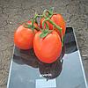 КАЛИСТА F1 - томат, Hazera