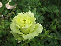 Троянда Лімбо (Limbo), фото 1