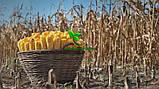 Семена Кукурузы ТВЕРДИНЯ Фао 270 25,6кг Маис Черкассы, фото 2