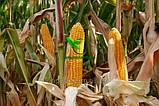 Семена Кукурузы ТВЕРДИНЯ Фао 270 25,6кг Маис Черкассы, фото 4