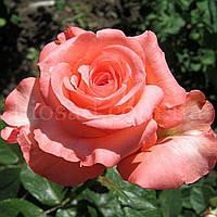 Троянда Нобіліс (Nobilis)