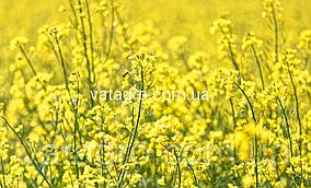 """Насіння озимого ріпаку """"Аляска"""" (під гліфосат) Seed Grain Company (Канада)"""