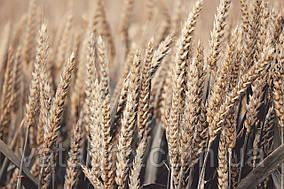 """Насіння озимої пшениці """"Мілтон"""" Seed Grain Company (Канада)"""