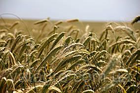 """Насіння озимої пшениці """"Калідон"""" Seed Grain Company (Канада)"""