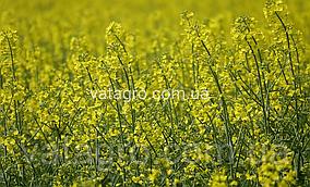 """Насіння озимого ріпаку """"Естер"""" (під гліфосат) Seed Grain Company"""