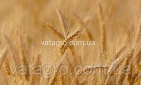 """Насіння озимої пшениці """"Манітоба"""" Seed Grain Company (Канада)"""