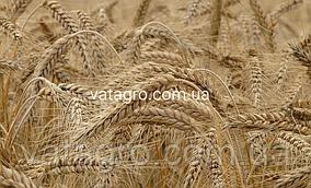 """Насіння озимої пшениці """"Роял""""  New Seed Grain Company (Канада)"""