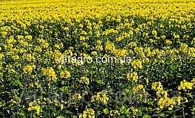 """Насіння озимого ріпаку """"Лаваль"""" Seed Grain Company"""