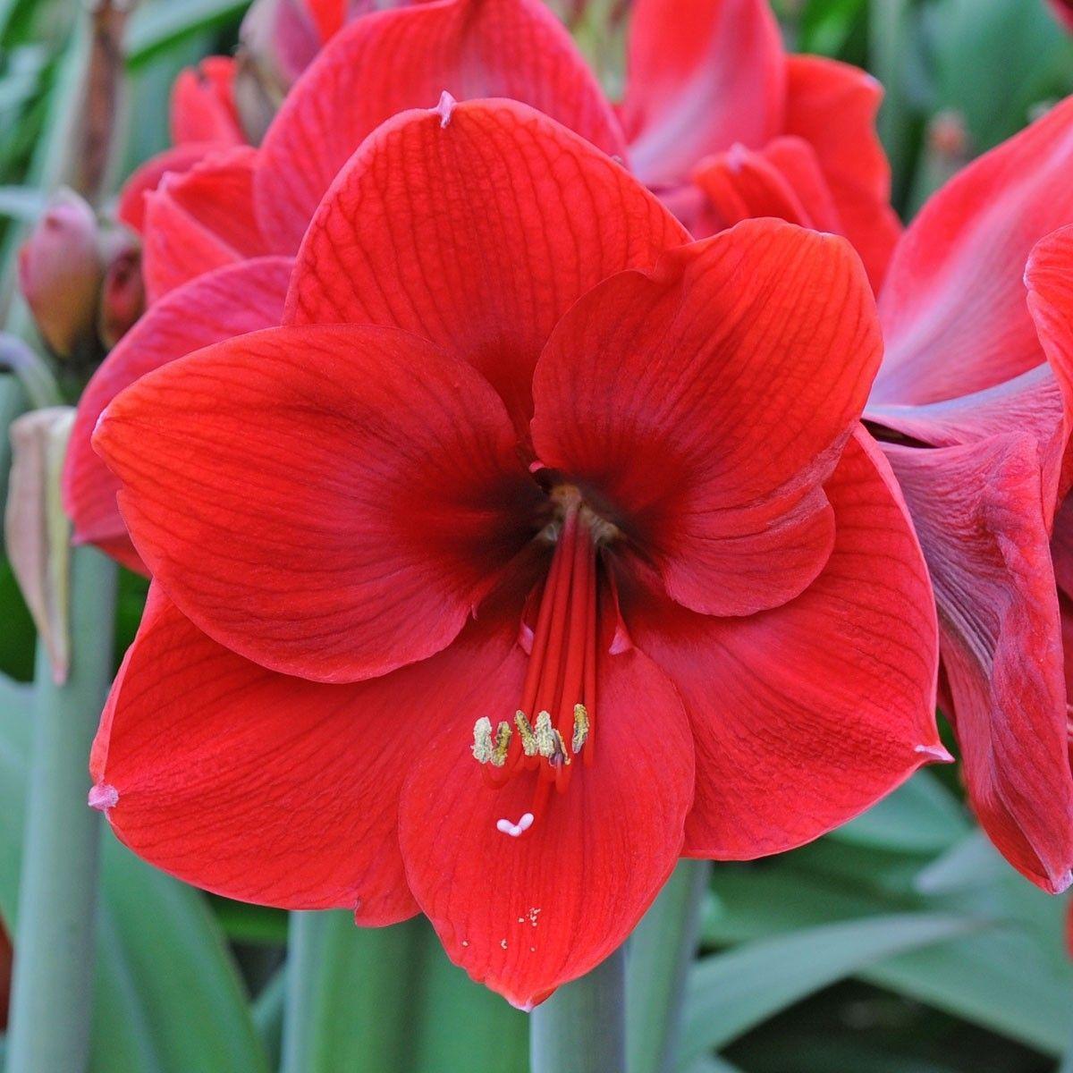 Амариллис Red Lable