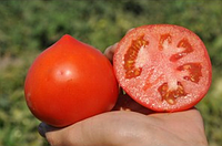 Семена томата красного Супернова (КАСТА)  5 000 сем. Clause / Клоз