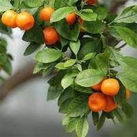 Саженцы мандарина Сатсума (Satsuma) (двухлетний)- сладкий, ароматный