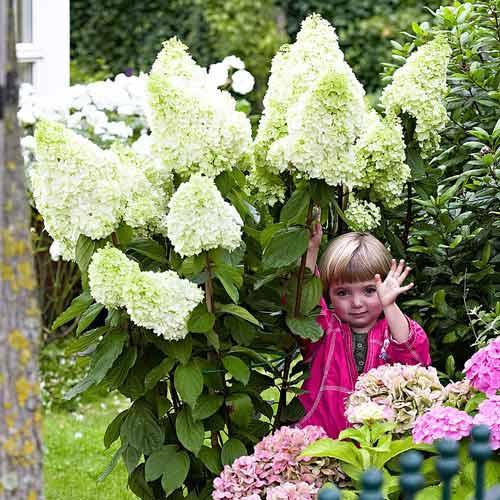 "Гортензия ""ГРАНДИФЛОРА"" метельчатая / (Hydrangea paniculata `Grandiflora`) / Саженцы"