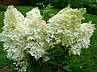 "Гортензия ""ГРАНДИФЛОРА"" метельчатая / (Hydrangea paniculata `Grandiflora`) / Саженцы, фото 5"