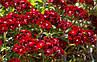 Гвоздика Турецкая красная, фото 2