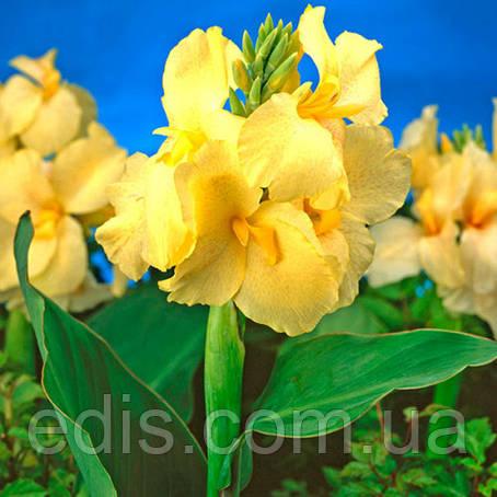 Канна низкорослая Yellow Futurity, фото 2