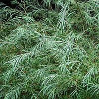 Ива розмаринолистная / Salix rosmarinifolia С3. h 50 см
