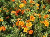 Лапчатка кустарниковая Хоплес Оранж / Potentilla fruticosa Hopleys orange , контейнер С 1,5 - 2