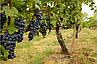 """Виноград """"ЮПИТЕР"""" (США) КИШМИШ / Саженцы / Высокоурожайный сорт раннего срока созревания, фото 2"""
