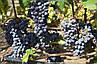 """Виноград """"ЮПИТЕР"""" (США) КИШМИШ / Саженцы / Высокоурожайный сорт раннего срока созревания, фото 5"""