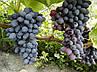 """Виноград """"ЮПИТЕР"""" (США) КИШМИШ / Саженцы / Высокоурожайный сорт раннего срока созревания, фото 9"""