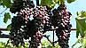 """Виноград """"ЮПИТЕР"""" (США) КИШМИШ / Саженцы / Высокоурожайный сорт раннего срока созревания, фото 10"""